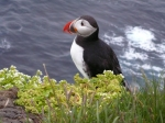 Puffin at the westernmost point in Europe