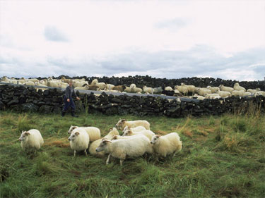 THIS YEAR'S ROUNDUP BEGAN IN LATE AUGUST WITH ABOUT 2,000 SHEEP NEAR LAKE MYVATN IN NORTHEAST ICELAND